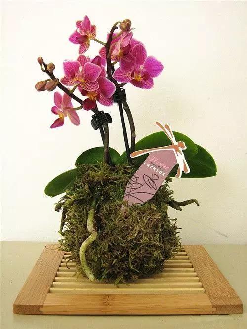 儿童小刺苔藓图片