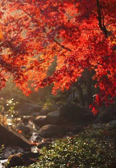 壁纸 大峡谷 枫叶 风景 红枫 树 382_551 竖版 竖屏 手机